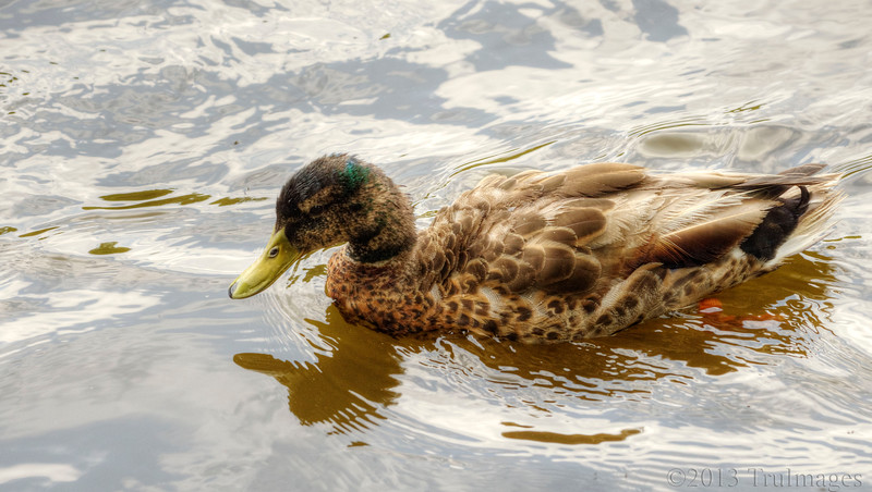 Aug 13<br /> Young mallard<br /> <br /> I think this is a young male mallard as I see a bit of green on its head. It had just finished bathing and preening so its a bit scruffy looking!