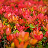 May 10<br /> Cheerful colors<br /> <br /> Yesterday's photo was B&W, today's is full of color! This shrub was outside the movie theatre last night.  Not sure what kind it is but I thought the colors were amazing!  By the way, went to see Ironman 3, best of the series!<br /> <br /> Thanks for enjoying the 'quiet life' photo yesterday!<br /> Happy Friday everyone!!