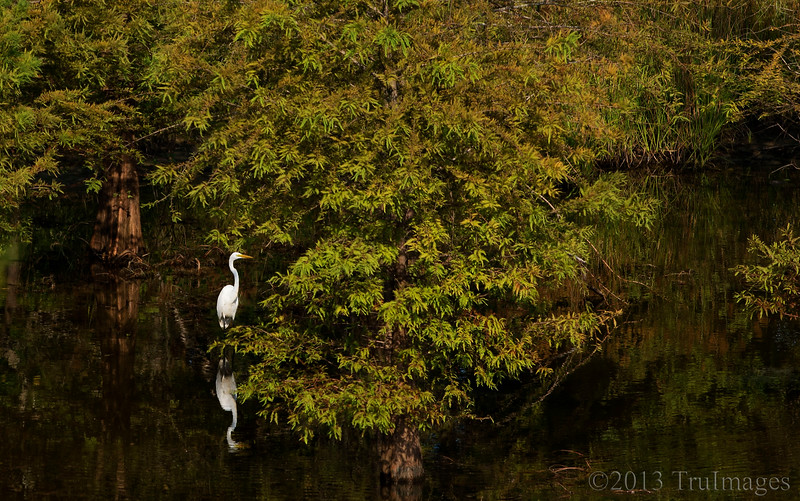 Sept 24<br /> At home<br /> <br /> Although I generally like to get in close when photographing birds, I liked the view of this egret in his environment. <br /> <br /> Thanks for the overwhelming response to my wildflower shot yesterday. Thanks to Fotoeffects for identifying them as cosmos.