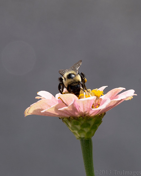 Sept 10<br /> Me and my pollen!<br /> <br /> This busy bee has no interest in anything other than getting to the pollen!<br /> <br /> Thanks for the continued wonderful responses to my photos!