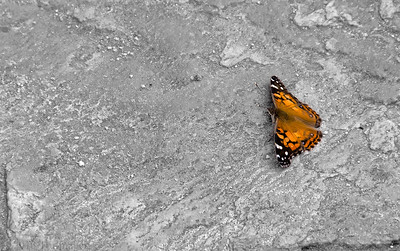 Sept 17 Sunbather  A hackberry butterfly warms in the sun.  Thanks for enjoying my work and commenting!