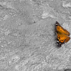 Sept 17<br /> Sunbather<br /> <br /> A hackberry butterfly warms in the sun.<br /> <br /> Thanks for enjoying my work and commenting!