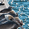 Feb 13<br /> Braving the cold<br /> <br /> It was a cold windy day at this pier in Wilmington NC, but these guys seemed comfortable with the chill in the air.....unlike myself! Best viewed in X2 or higher.<br /> <br /> Thanks for viewing and commenting!