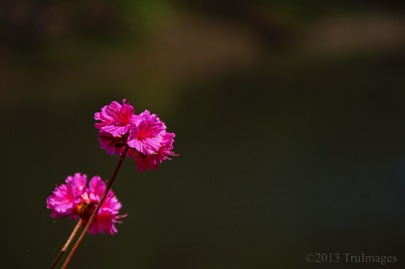 Apr 30<br /> Simple beauties<br /> <br /> Simple pink flowers enjoy the afternoon sunlight.<br /> <br /> Thanks for commenting!
