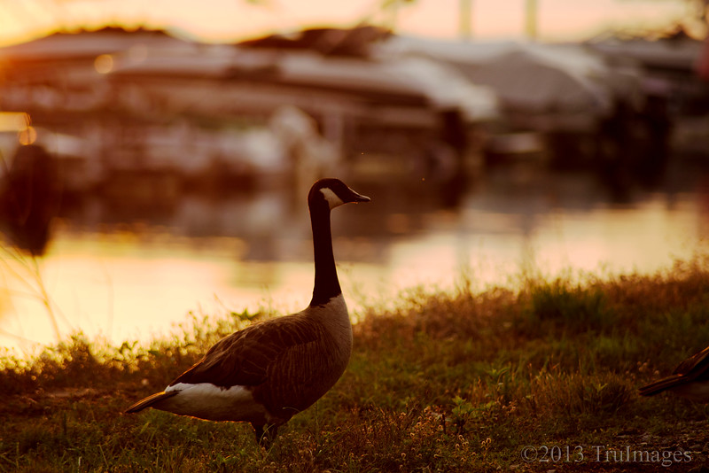 """Jul 5<br /> An evening stroll<br /> <br /> A Canada goose takes a stroll along the boat docks late in the evening.<br /> <br /> Thanks for enjoying my macro droplet on Wednesday! Hopefully everyone noticed the """"critters"""" in the droplet!<br /> Happy Friday!!"""