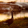 "Jul 5<br /> An evening stroll<br /> <br /> A Canada goose takes a stroll along the boat docks late in the evening.<br /> <br /> Thanks for enjoying my macro droplet on Wednesday! Hopefully everyone noticed the ""critters"" in the droplet!<br /> Happy Friday!!"