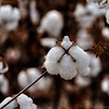 Oct 24<br /> Cotton boll<br /> <br /> A cotton boll from a field of cotton. Its interesting to see cotton growing in a field. Seems as thought is becoming more prevalent in the southern US.<br /> <br /> Thanks for viewing and stopping by!