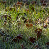 Dec 2<br /> Frosty morning<br /> <br /> A little bit of frost on the leaves and grass during our frigid week of temps.<br /> <br /> Sorry to have been out of touch over the holidays but was out of town and unable to comment. I even missed out on U day, argggh!
