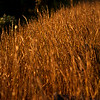 Nov 7<br /> Morning sun<br /> <br /> I love the warm hues of morning and afternoon sun! Even these roadside grasses had a special glow on Sunday morning!<br /> <br /> Thanks for enjoying and commenting on my work!