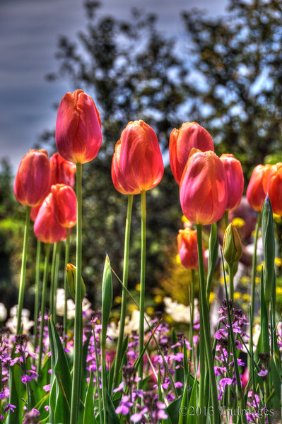 Apr 25<br /> Reaching up!<br /> The warmth of the spring sun is causing a stir among the tulips. They stretch up for its warm rays as they continue to awe us with beautiful colors!<br /> <br /> Thanks to those who commented on my Iris photo yesterday. Very much appreciated!
