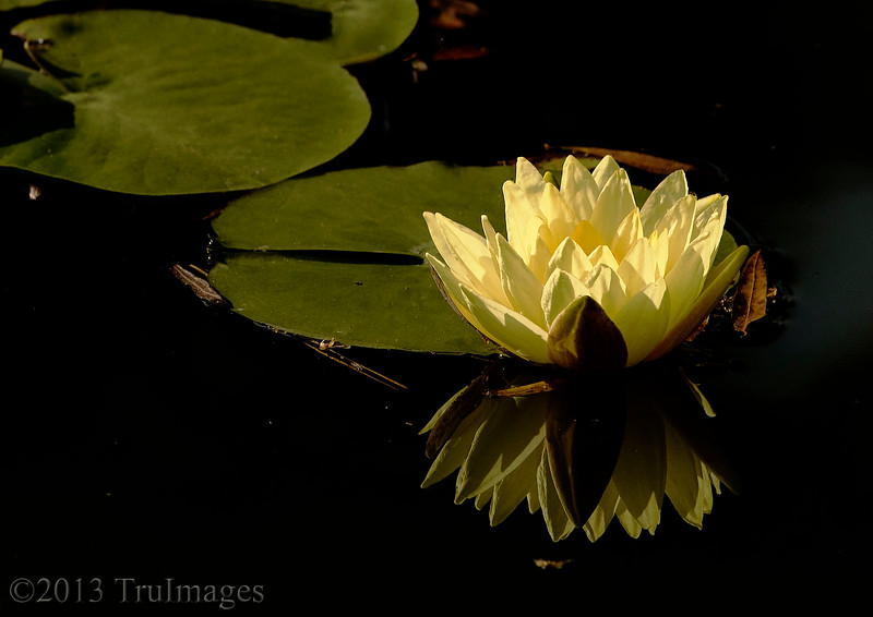 Nov 15<br /> Simple reflections<br /> <br /> A water lily and its reflection.<br /> Happy Friday everyone! TGIF!