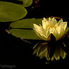 Nov 15 Simple reflections  A water lily and its reflection. Happy Friday everyone! TGIF!