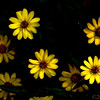 Oct 25<br /> Happy  flowers<br /> <br /> Happy flowers for a Happy Friday!<br /> I always love to see yellow flowers. They always seem to brighten my day!<br /> <br /> As always thanks for viewing and commenting!