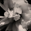 Jul 1<br /> Monochrome flower<br /> <br /> The first flower from my rose of Sharon shrub! It will provide many flowers and photo ops throughout the summer!<br /> <br /> Thanks for viewing and commenting!<br /> Have a great week everyone!