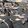 Mar 6<br /> Seagull chaos<br /> <br /> While I am standing in the middle of a flock of seagulls, someone decides its time to take flight! I am caught in the middle of chaos, with the camera shutter clicking away!  Nothing like the sound of seagulls whizzing past you! Taken in February at Myrtle beach, SC.<br /> <br /> Thanks for enjoying the southern snow photo yesterday! Your comments are always appreciated!