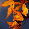 Nov 20<br /> Orange beauties<br /> <br /> I love the colorful leaves of fall. I was afraid this year would be less colorful because we had so much rain at the start of the season. However, my back yard trees have proven me wrong!<br /> <br /> Thanks for your continued support of my photography!!