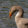 Oct 16<br /> Golden goose<br /> <br /> Okay maybe not golden but brownish-gold, lol! This Toulouse goose was enjoying a quick sip of water in the lake.<br /> <br /> I appreciate each and every comment! Thanks so much for visiting my site!