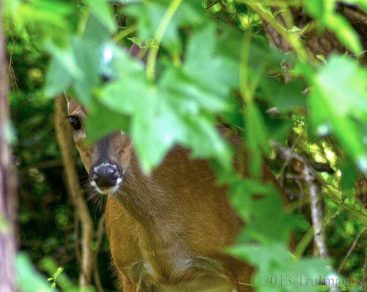Jun 29<br /> Peek-a-boo<br /> <br /> A deer plays peek-a-boo with me in my backyard