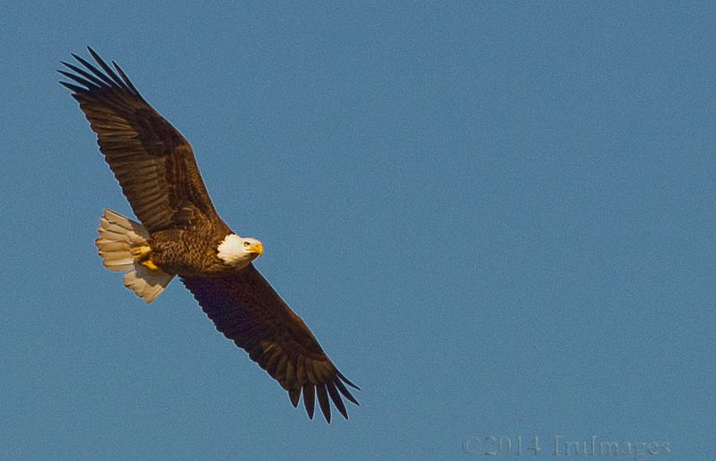 Feb 20<br /> Soaring High<br /> <br /> A bald eagle gracefully soars high above us poor humans, confined to the ground!!
