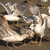 Feb 10<br /> Bird Brawl<br /> Urban seagulls, hanging out in a parking lot near fast food restaurants,  battle over a french fry!