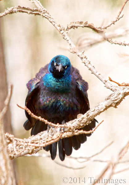 Angry bird<br /> <br /> A grackle fluffs its feathers after dining on birdseed, showing off its irredescent colors.