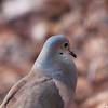 Dove in love