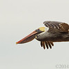Mar 6<br /> Flight of the pelican<br /> <br /> This graceful pelican soared effortlessly through the air.