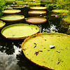 Lily pads, supersized!