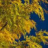 Golden foliage