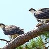 Double Ospreys