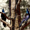 Mar 15<br /> The Dynamic Duo<br /> <br /> It must be grackle week at the birdfeeder because they have taken over! This duo, looking up as they typically do, show off their iridescent bodies.