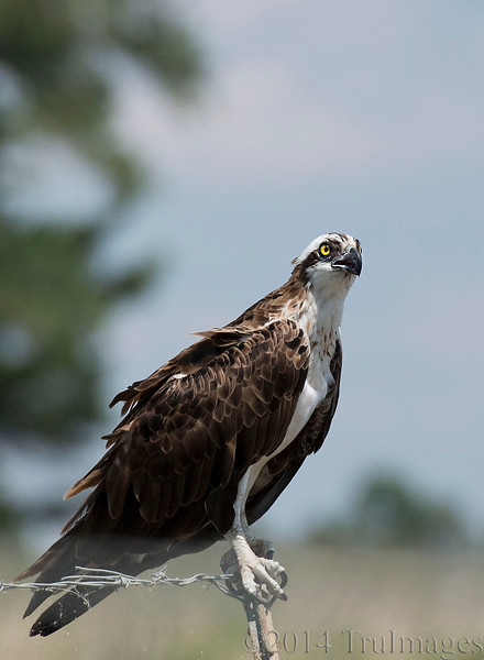 I am Osprey