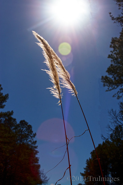 Jan 23<br /> Winter sun<br /> <br /> Cat tails backlit by the sun on a beautiful winter day!