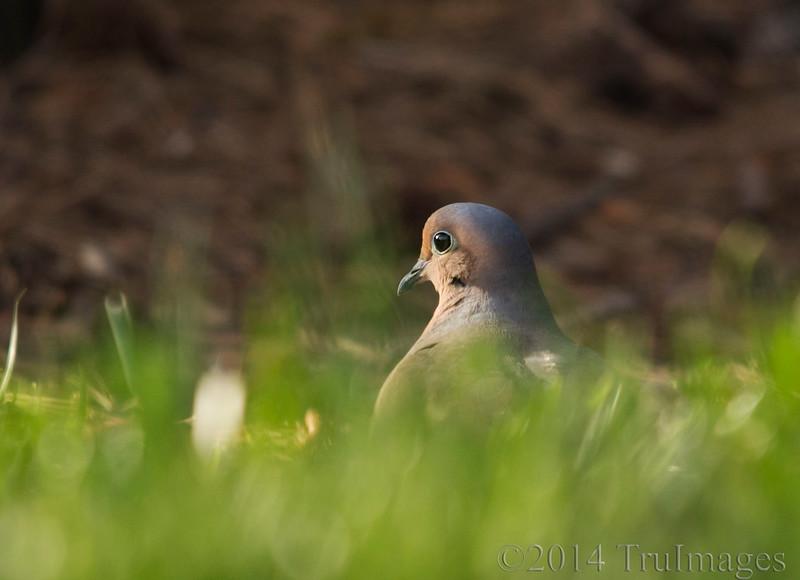Dove in the grass