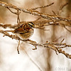 Jan 30<br /> Burr!!<br /> <br /> It was about 18 degrees when this was taken. The sparrow certainly looks as though its considering packing it up and heading south!