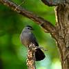 Catbird