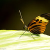Colorful beauty -Isabella's Longwing