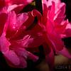 Encore azaleas