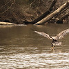 Mar 10<br /> Practice <br /> <br /> A juvenile bald eagle tests his fishing skills.