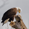 Feb 3<br /> Deep thoughts<br /> <br />  A bald eagle, high up on a perch overlooking Jordan Lake