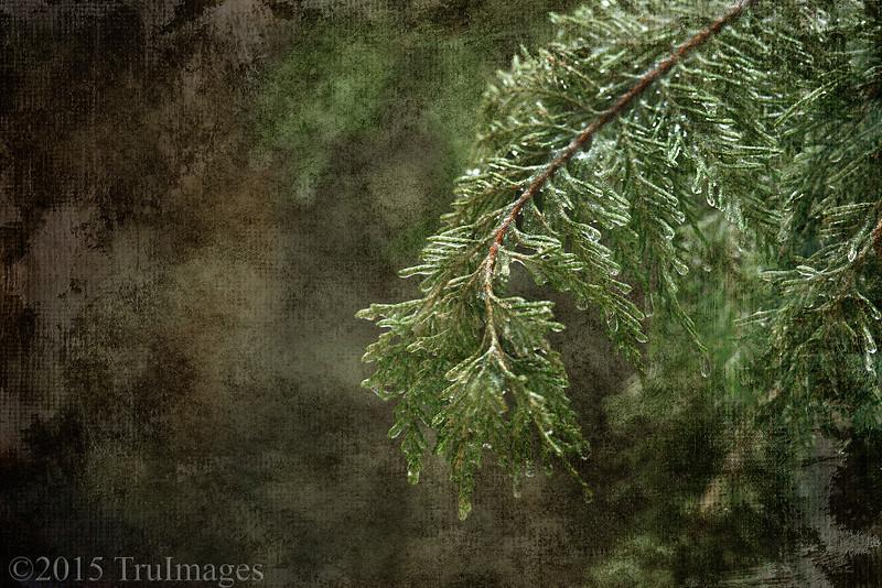 Iced Cypress Canvas