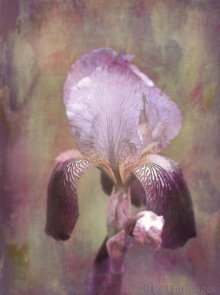 Iris Impressions