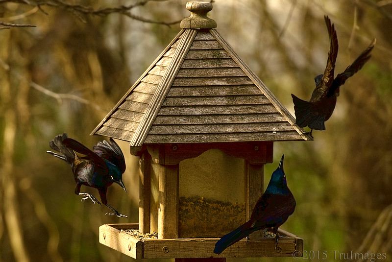 Grackle Takeover