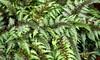 Topazed Ferns