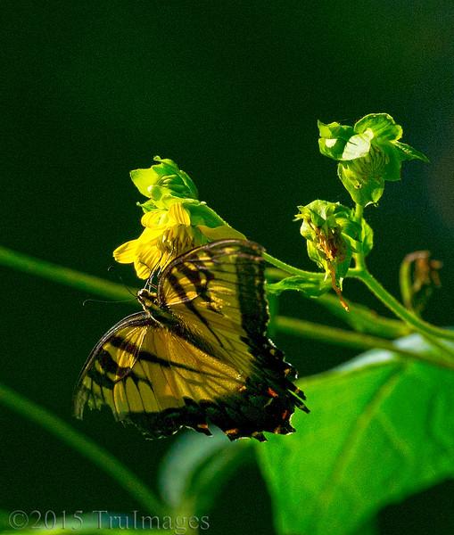 Butterfly Sips