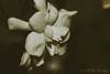 Simply Gardenia