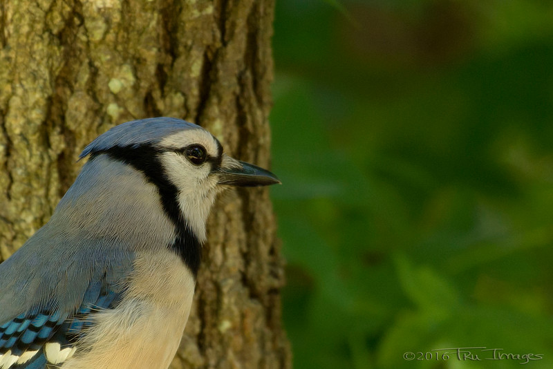 Blue Jay Thoughts