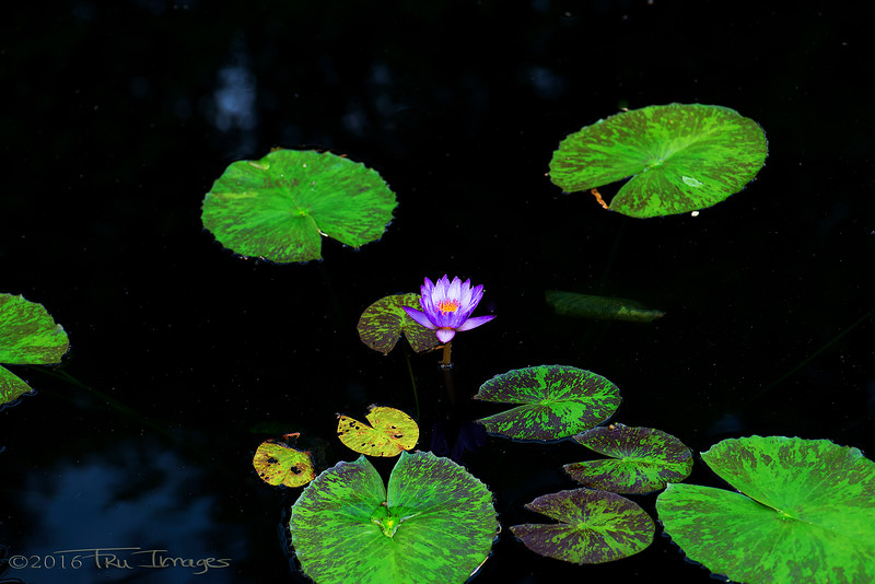 Water Lily Lily Pads