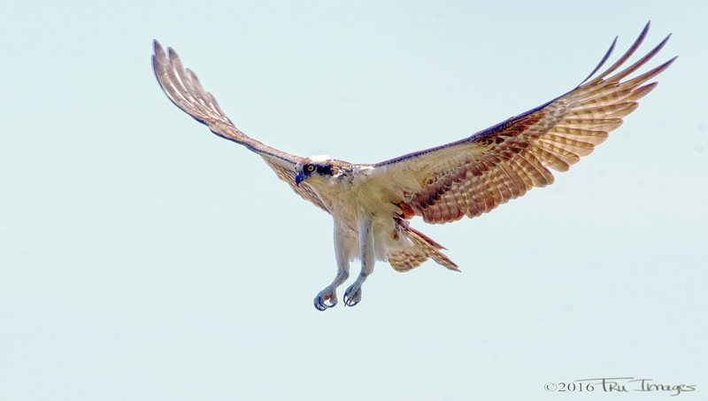 Osprey, the Athlete