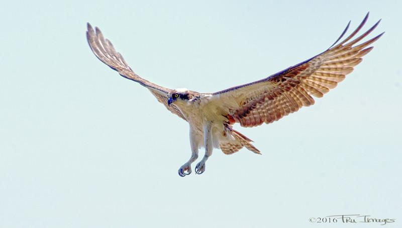 Osprey, the Athlete